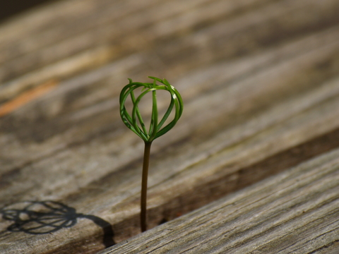 Photo of a small plant growing through a deck trying to survive